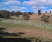New one acre Nebbiolo vineyard planted at 'Red Hill' block near Beechworth township.
